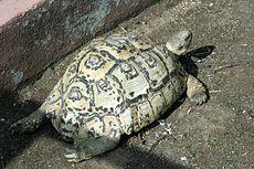 Tortuga leopardo 230px-11