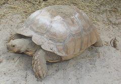 Tortuga de espolones africana 240px-12