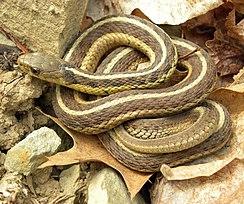 Serpiente de jarretera 245px-13