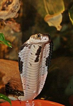 Cobra escupidora de Indochina 245px-16