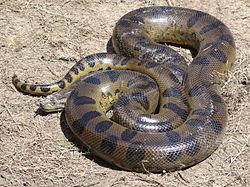 Anaconda verde 250px-11