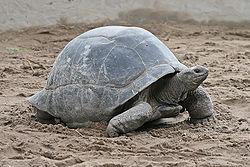 tortuga gigante de Aldabra 250px-51