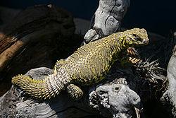 lagarto de cola espinosa del Sahara 250px-57