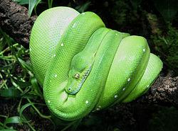 Piton verde arbicola 250px-70