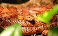 Serpiente del maíz 250px-72