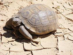 Tortuga del Desierto de Mojave 250px-81