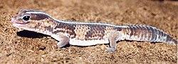 Gecko diurno rayado 250px-87