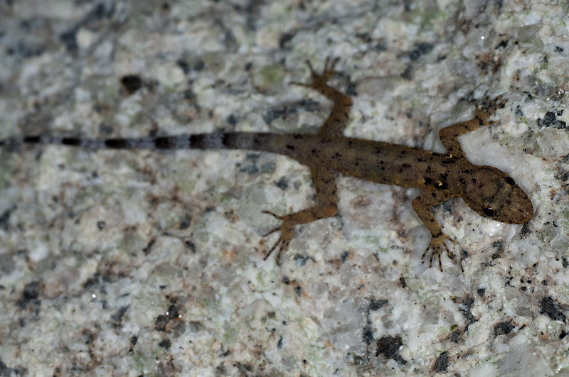 Gecko de la roca de Shahrul  49699910