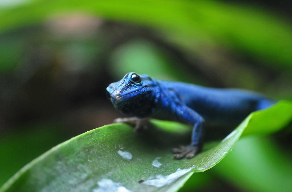 Gecko azul 57937810