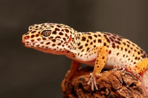 Gecko leopardo Caract10