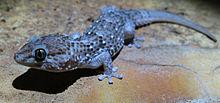 Chondrodactylus turneri Chondr10