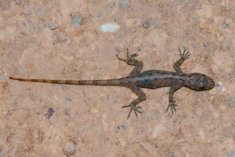 Gecko de roca siamés Cnemas16