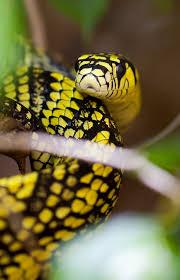 serpiente tigre Descar12