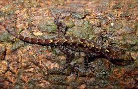 Gecko del día de Molligoda Descar17
