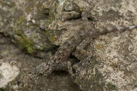 Merapoh Rock Gecko  Descar19