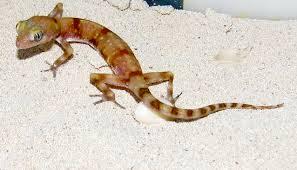 Kalahari Ground Gecko Descar21
