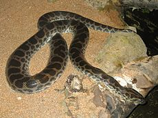Anaconda amarilla Eunect10
