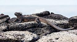 Iguana marina Iguana11