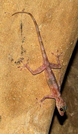 Gecko dorado de la India Indian10