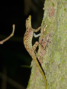 Gecko de roca de Kendall Kendal10
