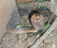 Cobra egipcia L14cob11