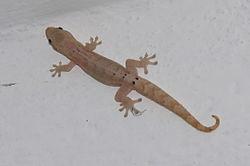 Gecko enlutado Lepido10
