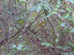 Culebra verde oliva M_101_10