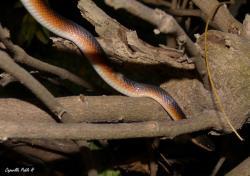 Mussurana bicolor M_p14410