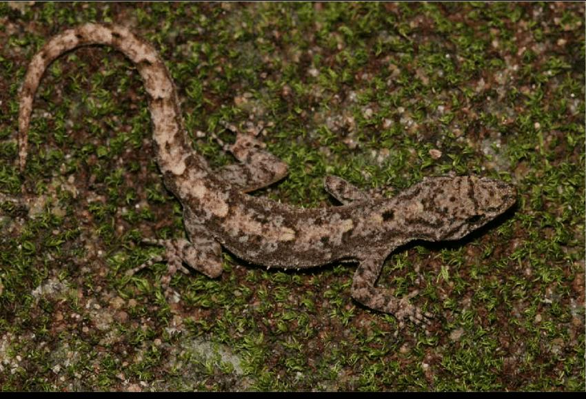 Gecko del día de Ferguson  Neotyp10