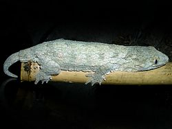 Gecko forestal gigante Rhacod10
