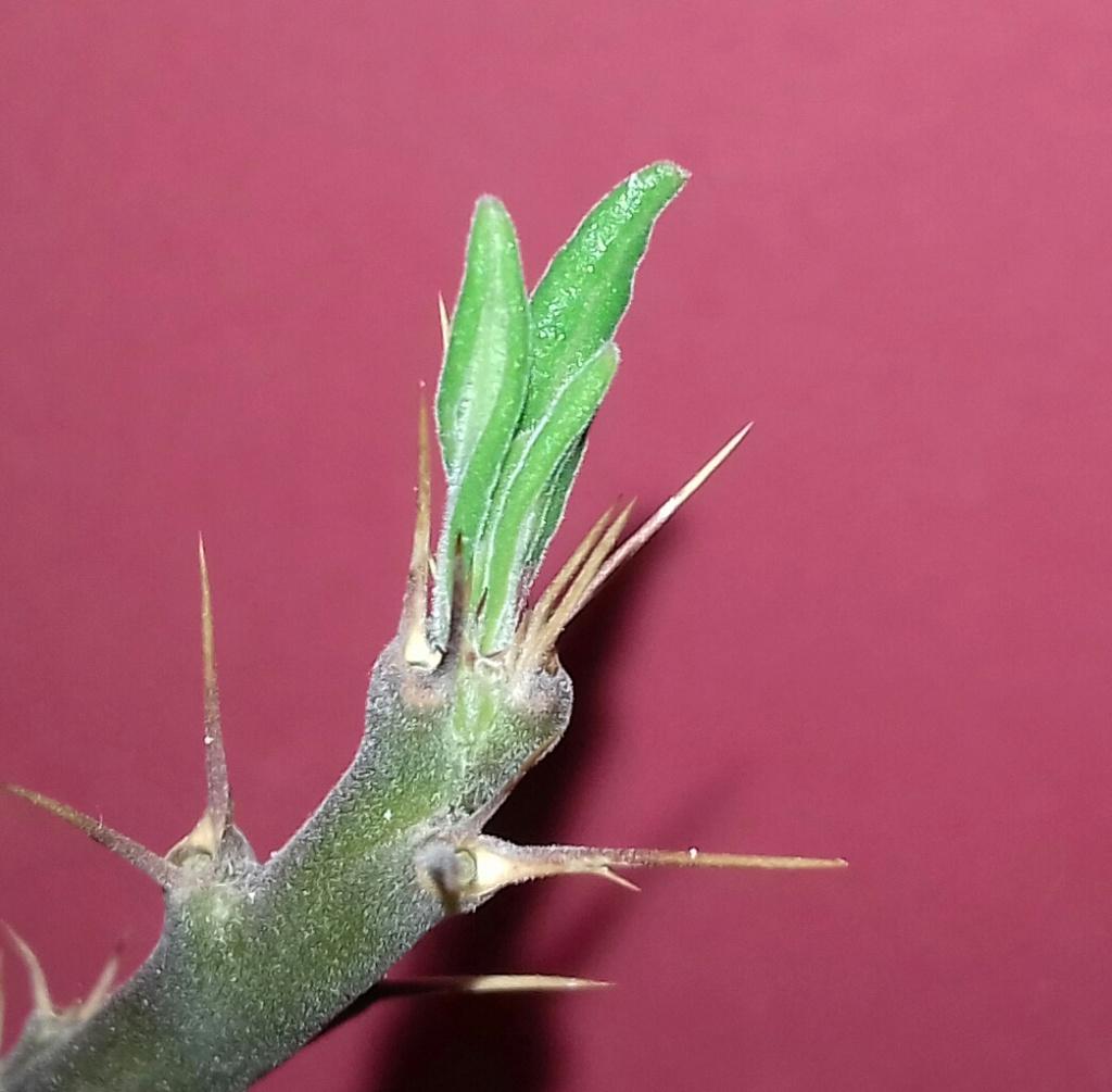 Pachypodium succulentum  - Page 13 20200344