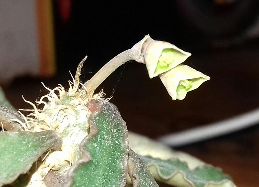 Euphorbia francoisii - Page 20 20200345