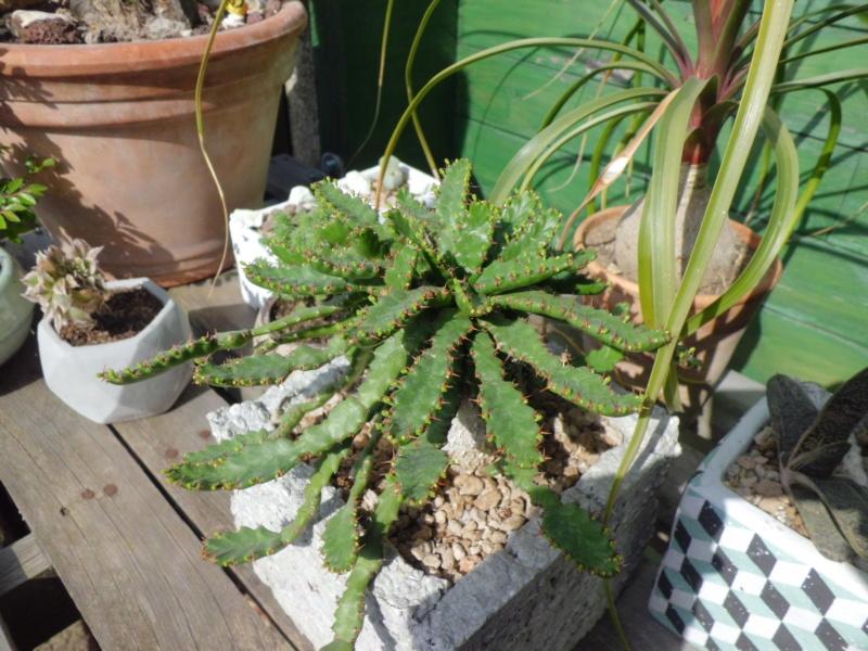 Euphorbia stellata - Page 7 Cimg4832