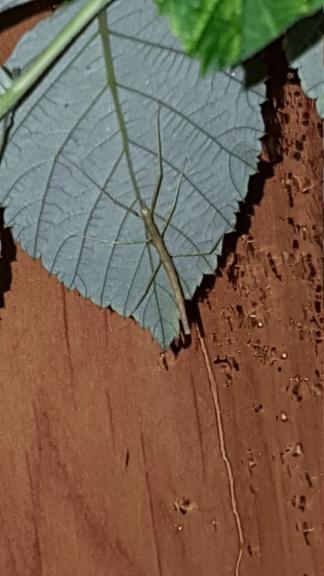 [Phasmes] medauroidea extradentata  909f3b10