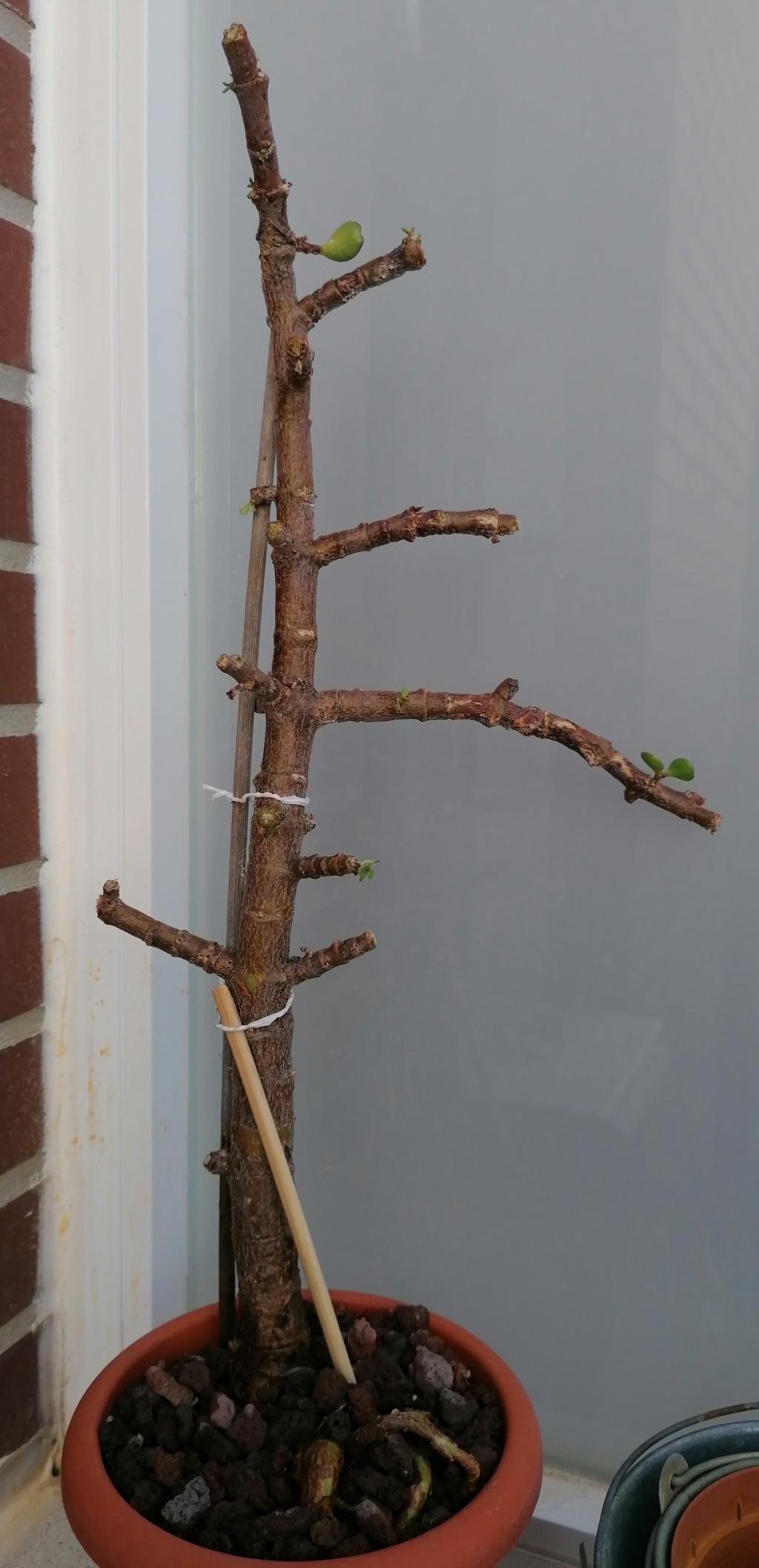 Mi bonsai!! portulacaria afra de 8 años Img_2018