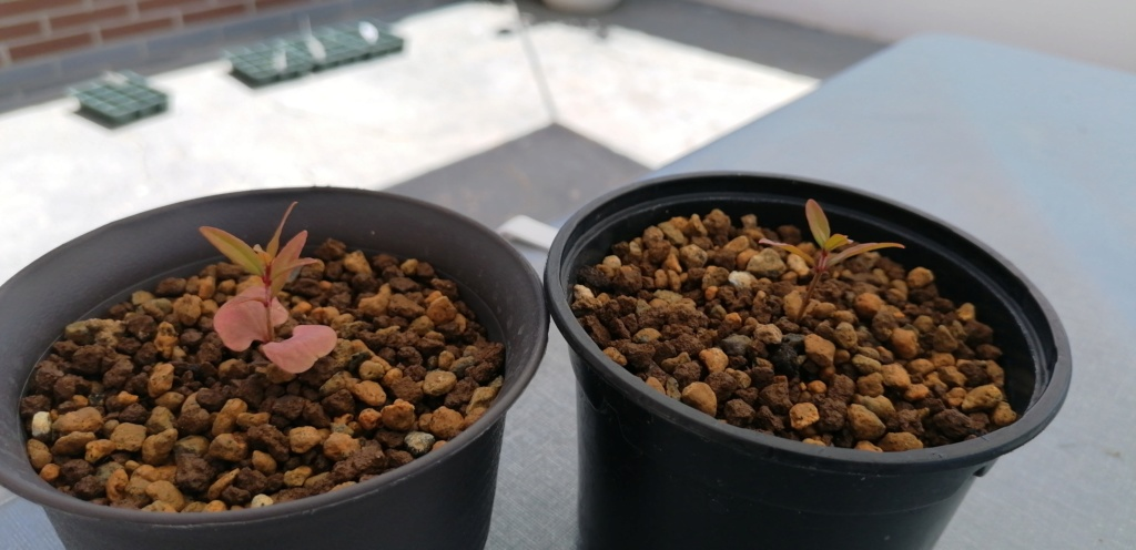 Mis primeros bonsais (qué ilu)  Photop11