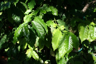 Tabernaemontana divaricata, à avoir absolument Coffea10