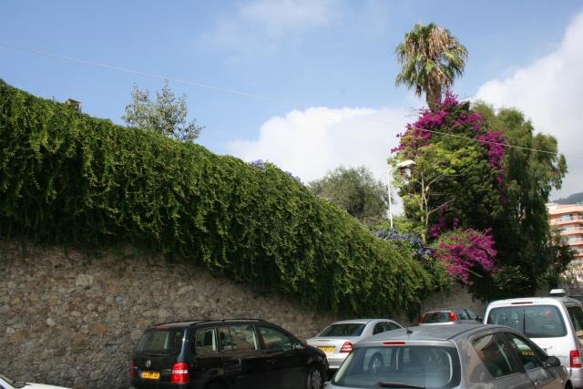 Macfadyena unguis-cati Grand_11