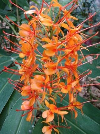 Identification hedychium orange! - Hedychium coccineum 'Tara'! Hedych12
