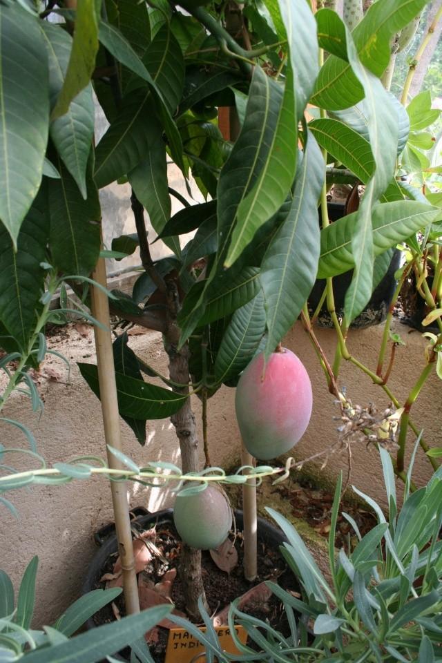 Mangifera indica , manguier Mangif10