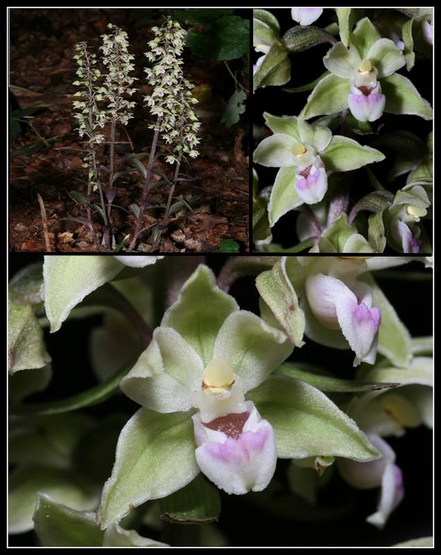 Epipactis purpurata ( Epipactis violacé ) Epipac10