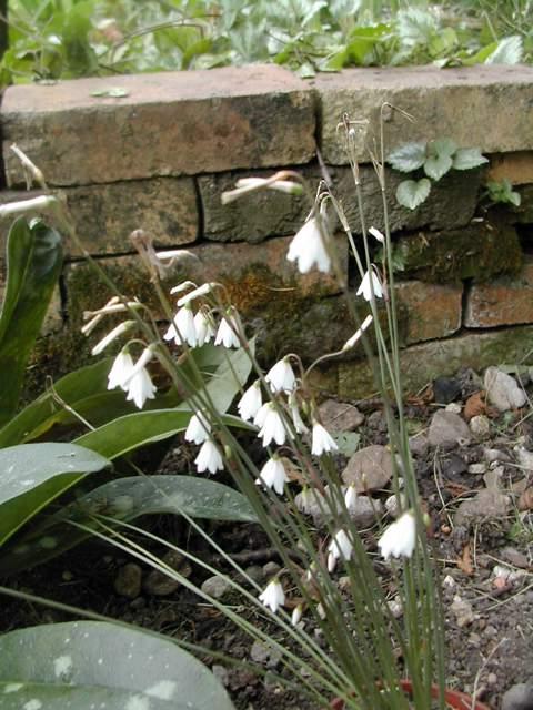 Leucojum aestivum ssp. pulchellum Leucoj10