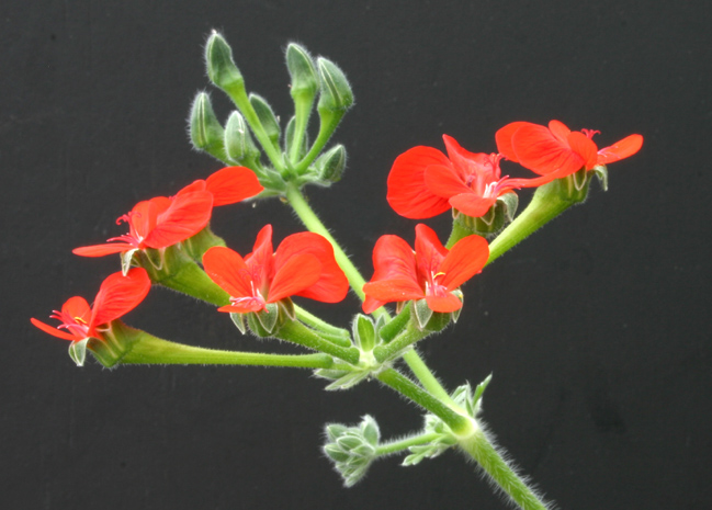 Pelargonium fulgidum Img_3510