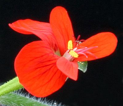 Pelargonium fulgidum Img_3512