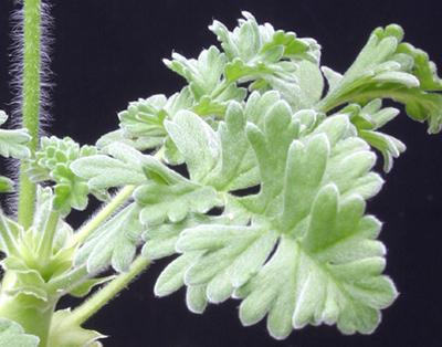 Pelargonium fulgidum Img_3514