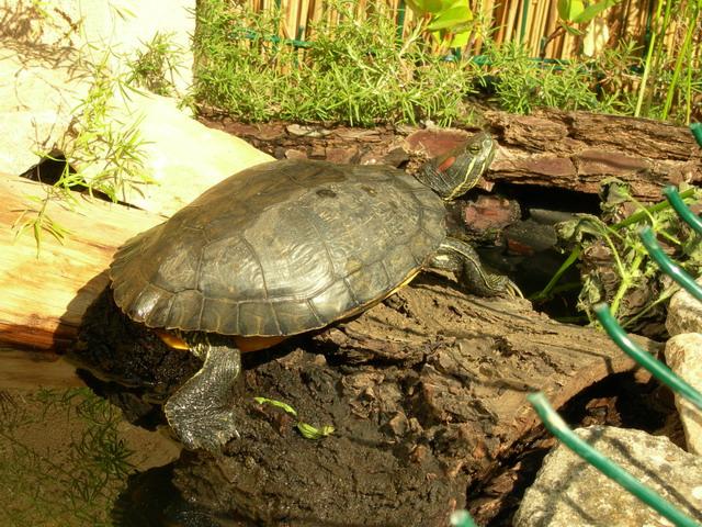 notre bassin pour tortues... Fantom10