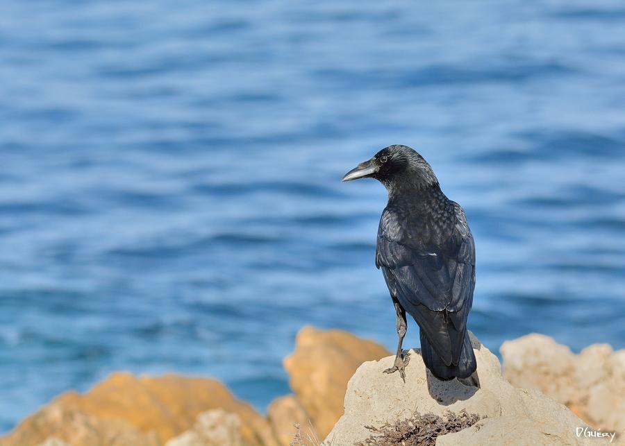 Le corbeau+ajout Corbea10