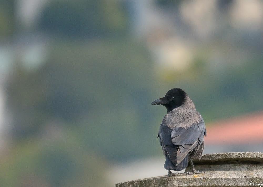 Le corbeau+ajout Dsc_co10
