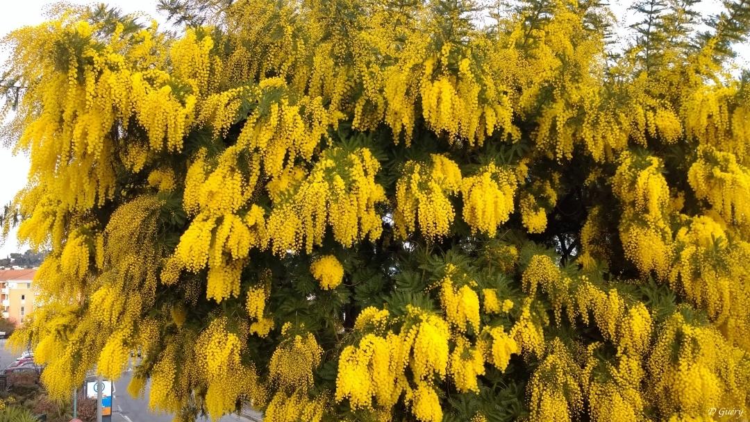 Mimosa Img_2010