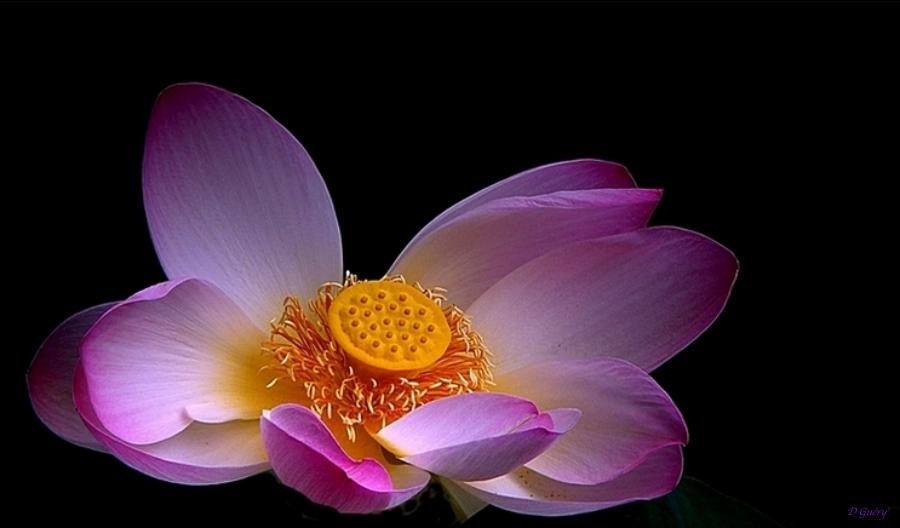 Au coeur de la fleur (essai)+ajouts Lotus_11